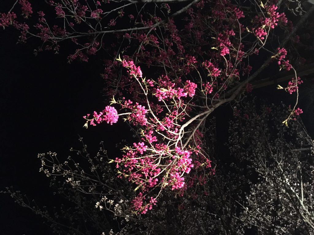 京都・二条城の桜